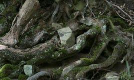 Radici dell'albero nella foresta Fotografia Stock