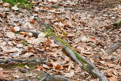 Radici dell'albero nelle radici dell'albero forestale fra le foglie cadute Fotografia Stock
