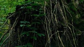 Radici dell'albero rovesciato nel legno archivi video