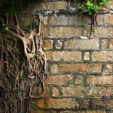 Radici dell'albero sulla parete Immagini Stock Libere da Diritti
