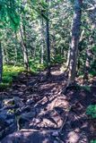 Radici dell'albero sulla traccia di escursione immagine stock libera da diritti