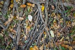 Radici dell'albero sulle foglie in pieno cadute a terra immagini stock