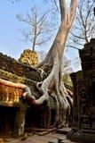 Radici dell'albero in tempio Cambogia di Prohm di tum immagine stock libera da diritti