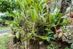 Radici dell'orchidea allegate ad un legno Fotografia Stock Libera da Diritti