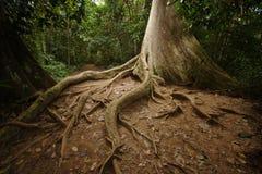Radici della giungla Immagini Stock
