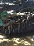 Radici della magnolia su The Creek Fotografie Stock