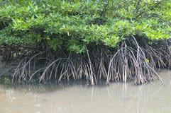 Radici della mangrovia Fotografia Stock Libera da Diritti