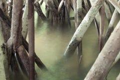 Radici della mangrovia Fotografia Stock
