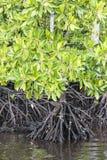 Radici della mangrovia fotografie stock