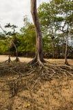 Radici della mangrovia Fotografie Stock Libere da Diritti