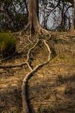 Radici della mangrovia Immagine Stock