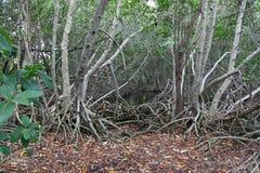 Radici della mangrovia esposte Fotografia Stock