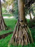 Radici della palma del Pandanus Immagine Stock
