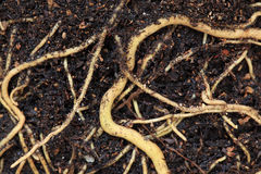 Radici della pianta Fotografia Stock