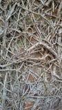 Radici della pianta della vite rampicante Fotografie Stock Libere da Diritti