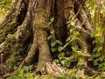 Radici della quercia e piante understory immagini stock