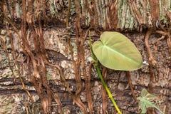 Radici delle liane tropicali - struttura fotografia stock libera da diritti