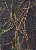 Radici delle orchidee sulla corteccia immagini stock