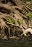 Radici di Cypress fotografie stock