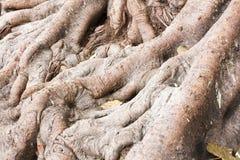 Radici di grande albero Fotografie Stock