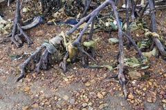 Radici di plastica dell'albero della mangrovia di inquinamento Immagine Stock