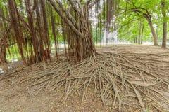 Radici di stupore dell'albero di caos in parco immagini stock libere da diritti