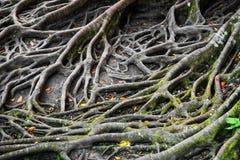 Radici di un albero fotografia stock libera da diritti