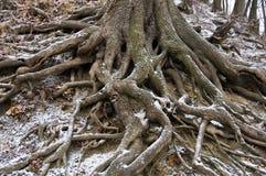 Radici di un albero sulla terra Fotografia Stock