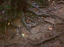 Radici di un albero in una foresta del Cay, NC fotografie stock libere da diritti