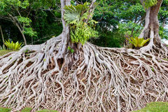 Radici di vecchio albero, un caos stupefacente Fotografia Stock