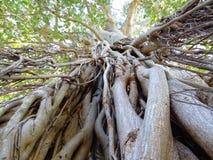 Radici e rami dell'albero che raggiungono per il cielo immagine stock