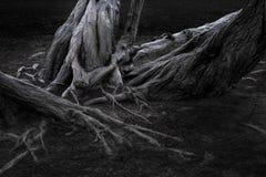 Radici e tronchi di albero Immagine Stock Libera da Diritti