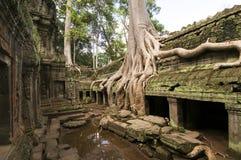 Radici giganti dell'albero, tempio di Prohm di tum fotografie stock