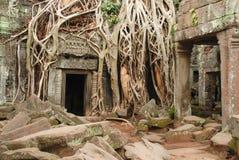 Radici giganti dell'albero, tempio di Prohm di tum immagini stock libere da diritti