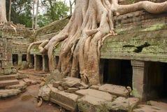 Radici giganti dell'albero, tempio di Prohm di tum immagine stock