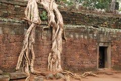 Radici giganti dell'albero, tempio di Prohm di tum fotografia stock libera da diritti