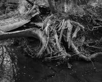 Radici Gnarly dell'albero in fiume fotografie stock libere da diritti