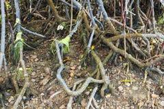 Radici inquinanti dell'albero della mangrovia Immagine Stock Libera da Diritti