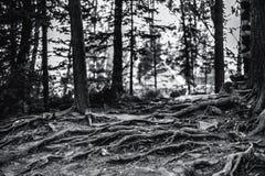 Radici multiple dell'albero, immagine a fondo grigio immagini stock libere da diritti