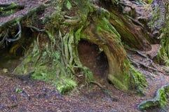 Radici muscose antiche dell'albero in foresta Immagine Stock