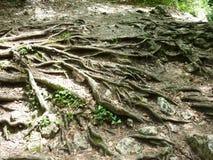 Radici nude dell'albero Immagini Stock Libere da Diritti