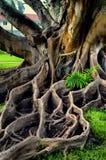 Radici ondulate molto grandi dall'albero Immagine Stock
