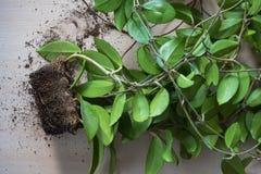 Radici quadrate Trapianto delle piante da appartamento fotografia stock