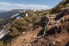 Radici scoperte del pino montano fotografia stock