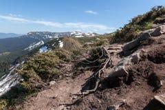 Radici scoperte del pino montano fotografie stock libere da diritti