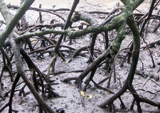 Radici scure degli alberi della mangrovia nella palude immagine stock