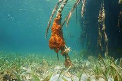Radici subacquee della mangrovia con la spugna encrusting immagine stock
