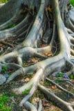 Radici tropicali dell'albero. Fotografia Stock