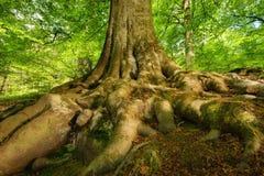 Radici vigorose di un albero di faggio maestoso immagine stock