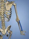 Radie mänskligt skelett, modell 3D royaltyfri illustrationer
